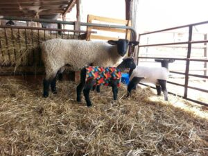 Ewe 1330 with 2015 twin lambs