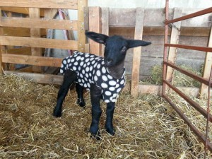 2015 lamb with polar fleece coat