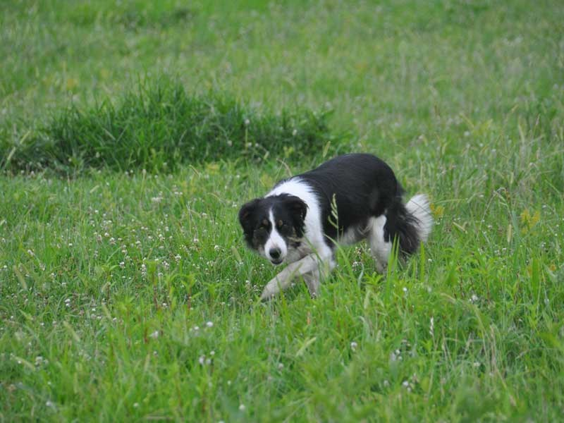 Frisk,-one-of-border-collie-farm-managers-(2)-1072×712
