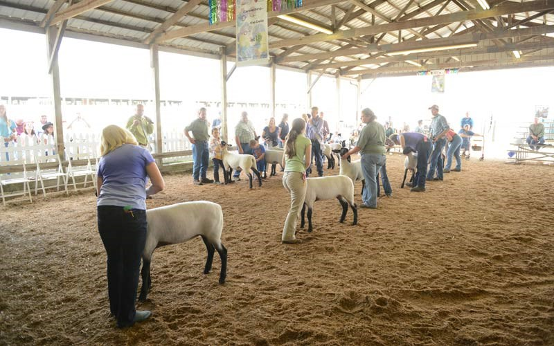2014-Suffolk-Late-Jr–Ewe-Class-had-12-13-ewes-in-class-Kelly-on-the-left-2448×1644